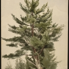 White Pine, Shokan, Ulster County, New York