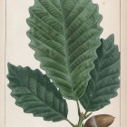 Rock Chestnut Oak, Plate 9